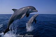 bottlenose dolphins, Tursiops truncatus, jumping out of the water, Anthony's Key Resort, Roatan, Bay Islands, Honduras ( Caribbean Sea )