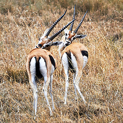Two identical Thomson's gazelles standing next to each other grooming themselves.<br />