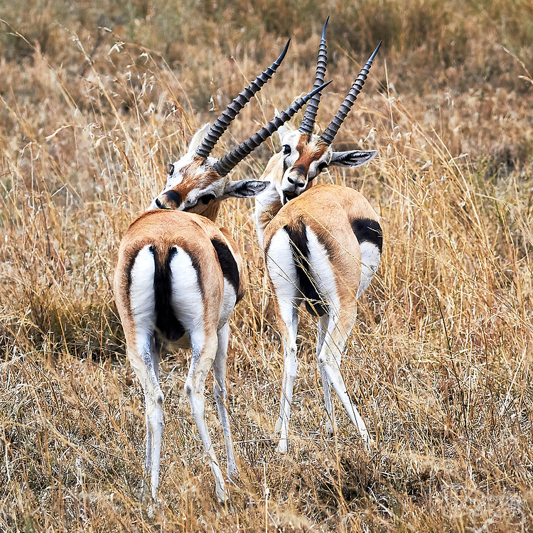 Two identical Thomson's gazelles standing next to each other grooming themselves.<br /> Serengeti National Park, Tanzania, Africa