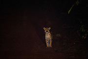 Jaguar (Panthera onca)<br /> Rain Forest<br /> Iwokrama Reserve<br /> GUYANA<br /> South America