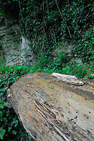 Dead Beech tree (Fagus sylvatica) and Common Ivy (Hedera helix), Mullerthal trail, Mullerthal, Luxembourg