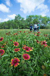People in field of firewheel (Gaillardia pulchella) and other wildflowers, Big Spring historical and natural area, Great Trinity Forest, Dallas, Texas, USA