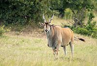 East African Eland, Taurotragus oryx pattersonianus, in Maasai Mara National Reserve, Kenya