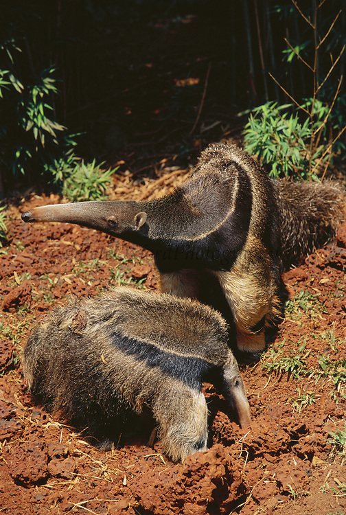 Giant Anteater & Baby feeding on Termite mound<br />Myrmecophaga tridactyla<br />BRAZIL.  South America<br />Range: Savanahs of Central and South America