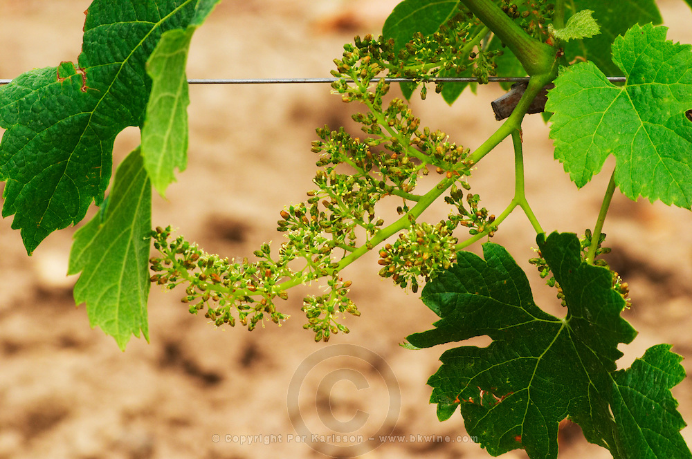 A bunch of grapes in the vineyard with flower buds and flowers and the gray grey brow cover of each bud that falls off when the flower opens Chateau Bourgneuf Vayron vineyard Pomerol Bordeaux Gironde Aquitaine France
