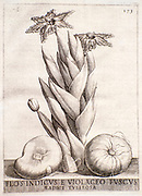 Copperplate engraving of a Ferraria crispa (Black Flag) from South Africa. Printed in 1638