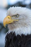 Bald Eagle, Haliaeetus leucocephalus, Portrait, Kenai Peninsula, Homer Spit, Homer, Alaska. Digital original, #206_0525 ©Robin Brandt
