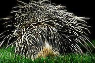 """Crested Porcupine (Hystrix cristata), from behind. Distribution Africa. is a species of rodent. Lives on the ground and digging underground tunnels. Porcupine quills, the longest of all mammals. These are transformed hairs. In the porcupines coat will be find a variety of hair styles: soft wool hairs, stiffer hairs, flat bristles and thick, very flexible, long bristles and stark, long round quills. There are also some sturdier quills which are about 40 cm in length and 7 mm in diameter. The quills are sharp and can cause inflammations. In defense, when disturbed they raise and fan their quills to make themselves look bigger. Krefeld, North Rhine-Westphalia, Germany.This picture is part of the series """"Creature's Coiffure""""..Stachelschwein (Hystrix cristata), von hinten. Verbreitungsgebiet Afrika. Gehoert zu den Nagetieren. Lebt am Boden und graebt unterirdische Gaenge. Stachelschweine haben die laengsten Stacheln aller Saeugetiere. Es handelt sich dabei eigentlich um umgewandelte Haare. Im Kleid der Stachelschweine findet man die verschiedensten Haararten: weiche Wollhaare, steifere Haare, flache Borsten, dicke, sehr elastische, lange Borsten und starre, lange runde Spiesse. Einzelne Spiesse können bis zu 40 cm lang werden und einen Durchmesser von 7 mm haben. Die Stacheln sind scharf und koennen Entzuendungen verursachen. Bei Gefahr und Selbstverteidigung stellt es die Stacheln auf, die dann zur Waffe werden. Krefeld, Nordrhein-Westfalen, Deutschland.Dieses Bild ist Teil der Serie ,,Die Frisur der Kreatur"""""""