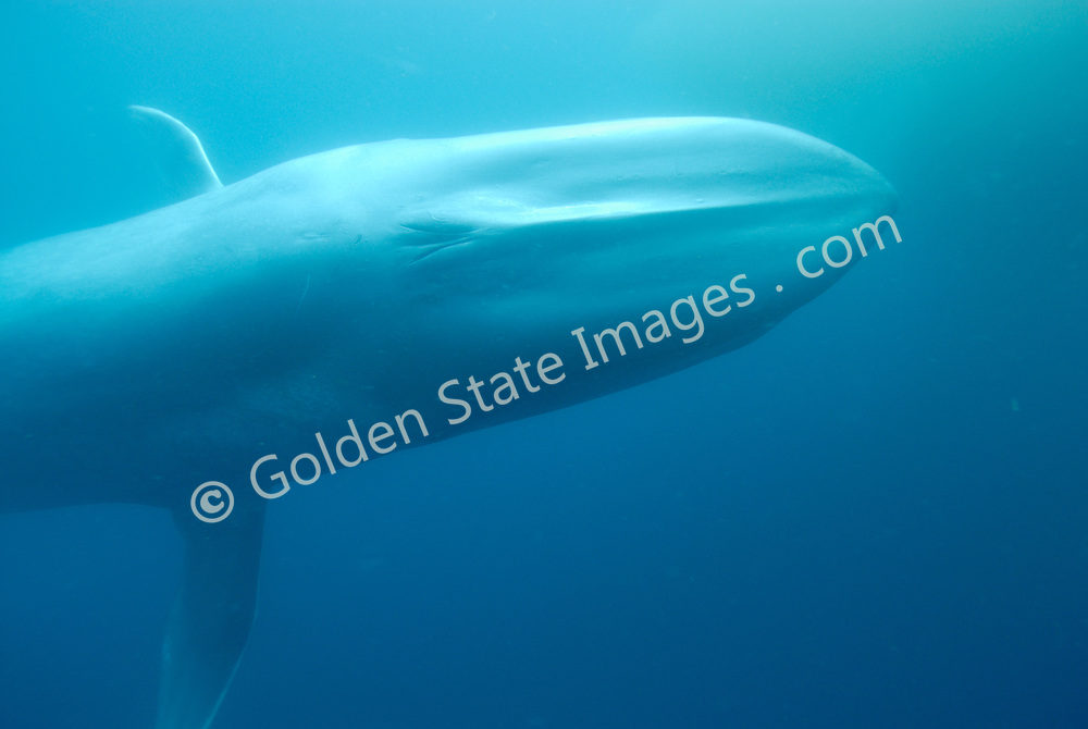Blue Whales normally travel as individuals or in small groups of two or three animals, but in areas where krill are plentiful they can be found feeding in groups of 50 or more.<br /> <br /> Blue Whales existed in large numbers until the early twentieth century. In a period of less than 40 years they were hunted nearly to extinction. As of 2002 there were 5 to 10 thousand worldwide and their numbers appear to be increasing.<br /> <br /> A Baleen whale, the blue whales is believed to be the largest animal to have ever lived. <br /> <br /> They can reach lengths of over 90 feet and attain weights of 150 tons or more. <br /> <br /> They feed almost exclusively on huge amounts of tiny shrimp like crustaceans called krill.<br /> <br /> The huge fluke of a Blue Whale can power it to speeds of over 30 miles per hour for short distances.<br /> <br /> Range: Found worldwide. In the Pacific Ocean they range from the Arctic to the Gulf of Mexico    <br /> <br /> Species: Balaenoptera musculus