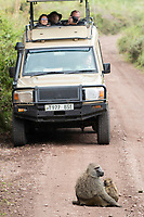 A female Olive Baboon, Papio anubis, nurses its baby on a road in Arusha National Park, Tanzania