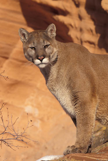 Mountain Lion or Cougar, (Felis concolor) Adult in red rock country of Utah. Captive Animal.