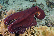 Day Octopus (Octopus cyanea)<br /> Raja Ampat<br /> West Papua<br /> Indonesia