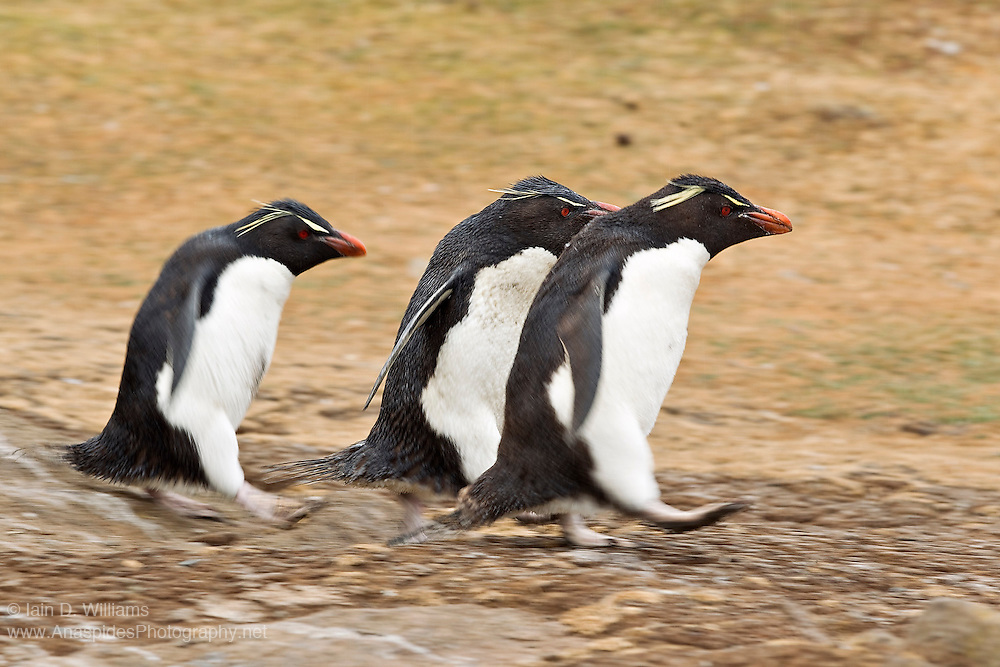 Rockhopper penguins can move exceptionally fast when transiting from the sea to their colony