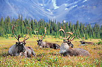 Woodland caribou bulls in the high alpine, British Columbia, Canada