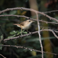 """The black-browed reed warbler (Acrocephalus bistrigiceps) is a marsh-warbler (family Acrocephalidae). It was formerly included in the """"Old World warbler"""" assemblage."""