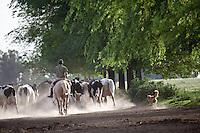 PEON A CABALLO ARREANDO GANADO VACUNO HOLANDO-ARGENTINO EN UN TAMBO, TRES SARGENTOS, PROVINCIA DE BUENOS AIRES, ARGENTINA (PHOTO BY MARCO GUOLI)