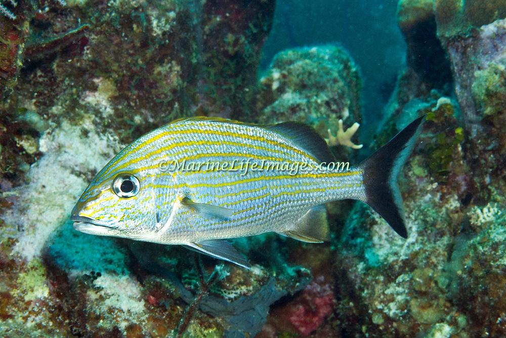 Caesar Grunt inhabit reefs in Tropical West Atlantic; picture taken Grand Turk.