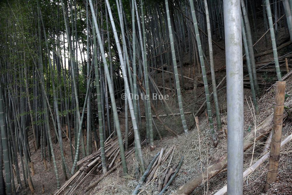 bamboo vegetation Japan
