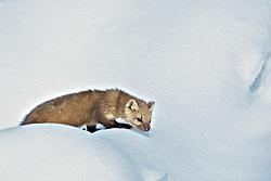 Pine Martin,  Yellowstone National Park