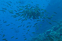 small wrasses in a spawning aggregation<br /><br />Contreras Islands<br />Coiba National Park<br />Panama<br /><br />The Fridge dive site