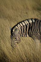 Common Zebra in Etosha National Park, Namibia
