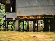 30 SEPTEMBER 2016 - SAI NOI, AYUTTHAYA, THAILAND:  A boy swims in the flood waters that surround his home in Sai Noi. The Chao Phraya River, the largest river that runs through central Thailand, has hit flood stage in several areas in Ayutthaya and Ang Thong provinces. Villages along the river are flooded and farms are losing their crops due to the flood. This is the same area that was devastated by floods in 2011, but the floods this year are not expected to be as severe. The floods are being fed by water released from upstream dams. The water is being released to make room for heavy rains expected in October.     PHOTO BY JACK KURTZ