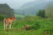 Pando, Cantabria. Caballos en una finca pastando al aire libre