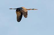 Herons fly over Echo Lake on May 1, 2021.