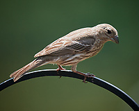Female Brown-headed Cowbird. Image taken with a Nikon D5 camera and 600 mm f/4 VR lens