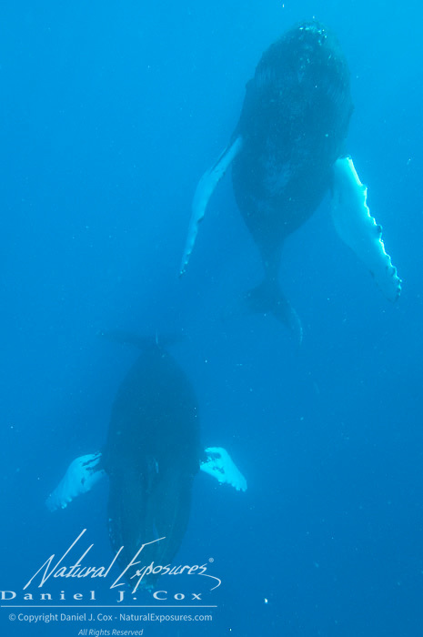 Humpback Whale (Megaptera novaeangliae) mating pair. Caribbean Ocean.