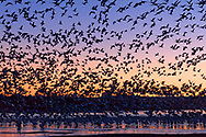 Thousands of snow geese take wing at Bosque del Apache National Wildlife Refuge in New Mexico