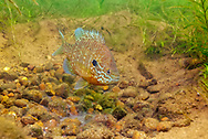 Pumpkinseed Sunfish (male guarding nest with eggs)<br /> <br /> Engbretson Underwater Photography