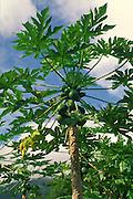 Papaya, Hawaii<br />