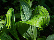 Veratrum (or corn lily, false hellebore, in the family Melanthiaceae) grows in damp habitats across much of temperate and subarctic Europe, Asia, and North America. Photo is from Burroughs Mountain Trail, Mount Rainier National Park, Washington, USA.