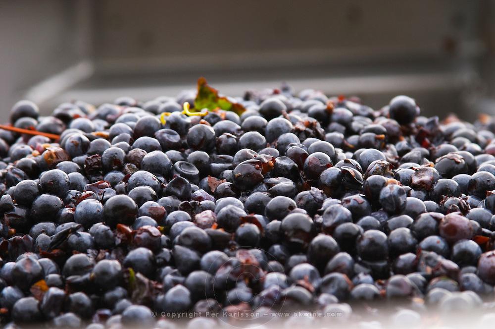 Harvested grapes. Grape reception at the winery. Cabernet Franc. Chateau Reignac, Bordeaux, France