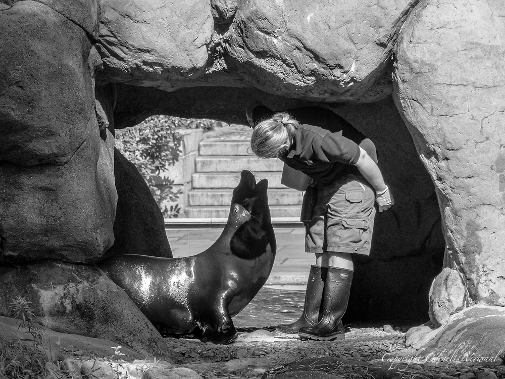 A Sea Lion gets her teeth examined at the Central Park Zoo