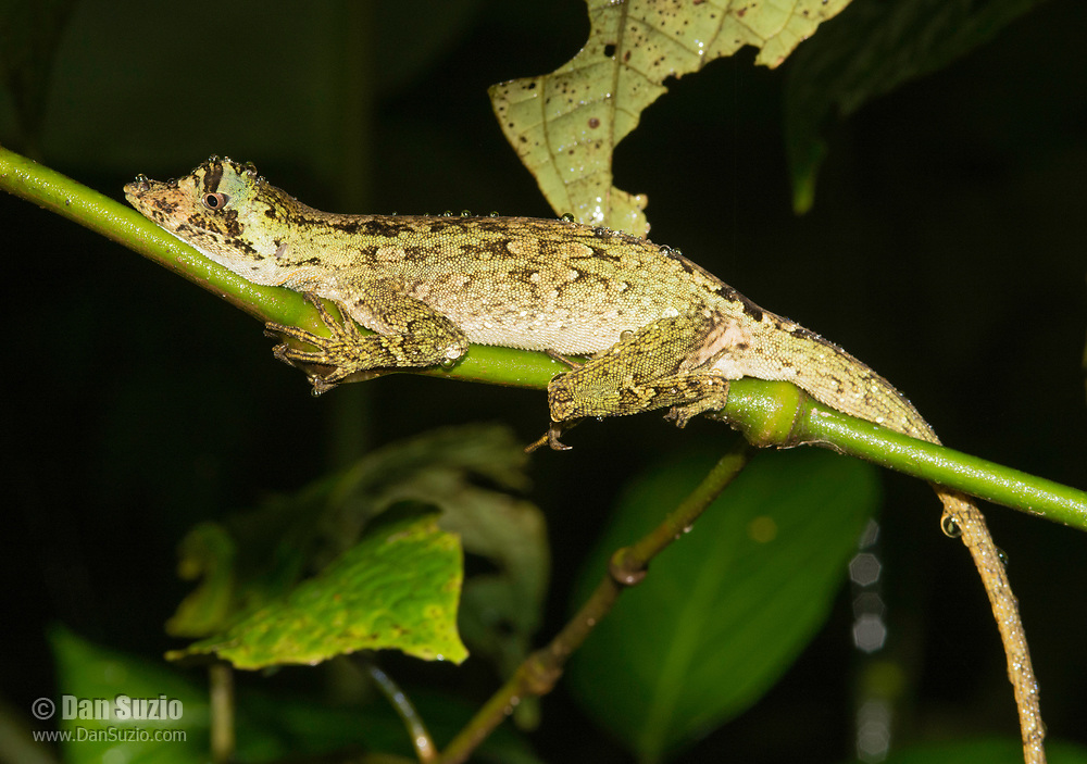 Pug-nosed Anole, Anolis capito, on a branch at Monteverde, Costa Rica