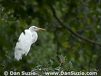 Great egret, Ardea alba (Casmerodius albus) Point Reyes National Seashore, California