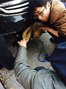 LOUDI, CHINA -  (CHINA OUT) <br /> <br /> Dog is found in Car Grill, but only after driver had driven 240 miles first<br /> <br /> The image was taken with mobile phone people rescue a dog that was stuck in a car and survived the accident  in Loudi, Hunan Province of China. A dog was hit by a car running at full speed when it crossed an expressway in Central China's Hunan province, The driver, who assumed the dog must have been killed in the accident, unexpectedly found it somehow got stuck in the slot under the bumper and had not sustained any serious injury. The man went on driving for 400 kilometers and during the journey kept checking on the dog's condition. When they reached a veterinarian, the vet confirmed that the dog only suffered a slight injury, and the car owner, surnamed Zhang, decided to adopt the dog into his family. <br /> ©Exclusivepix Media