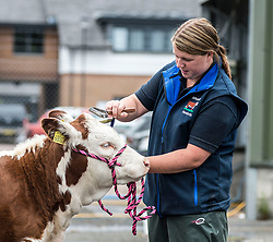 3 month-old Hereford calf Julia gets a final wash and brush up from owner Bethan Hutchinson from Hartlepool during final preparations for this years Royal Highland Show at Ingliston near Edinburgh.<br /> <br /> © Dave Johnston/ EEm