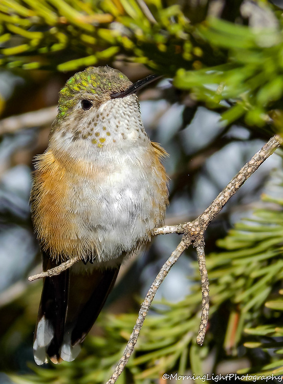 Perched Female Broad-tailed Hummingbird