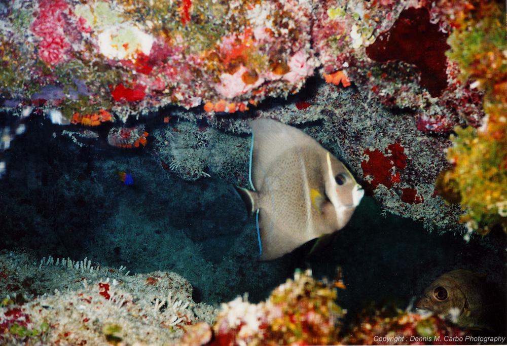 Grey Angel Fish - Walkers Key, Bahamas