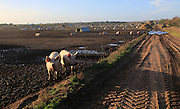 Free range pig livestock farming, Sutton Heath, Suffolk, England, UK
