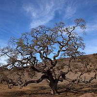USA, California, Carmel Valley. Coast Live Oak Tree.
