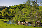 Fisherman walks past cows cooling off in River Windrush, The Cotswolds, Swinbrook, Oxfordshire, UK
