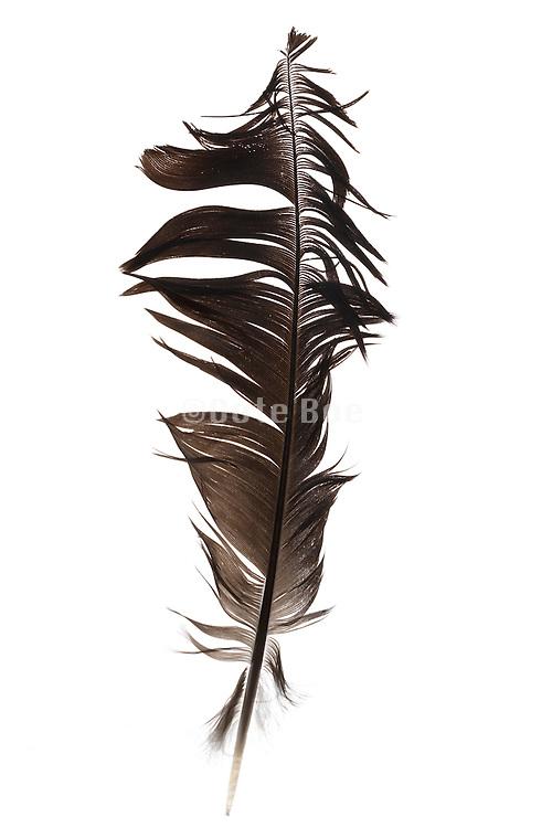 a ruffled up bird feather