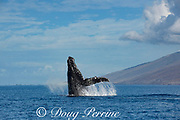 humpback whale, Megaptera novaeangliae, breaching, West Maui, Hawaii, Hawaii Humpback Whale National Marine Sanctuary, USA ( Central Pacific Ocean )