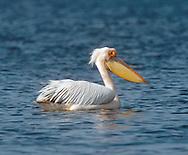 White Pelican - Pelecanus onocrotalus