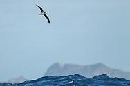 Fea's Petrel - Pterodroma feae