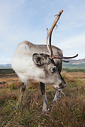 Closeup view of a reindeer from the Cairngorm herd, using a wideangle lens to show some of the surrounding landscape.
